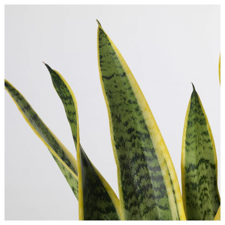 sansevieria-trifasciata-potted-plant-mother-in-law-s-tongue__0523251_PE643688_S5