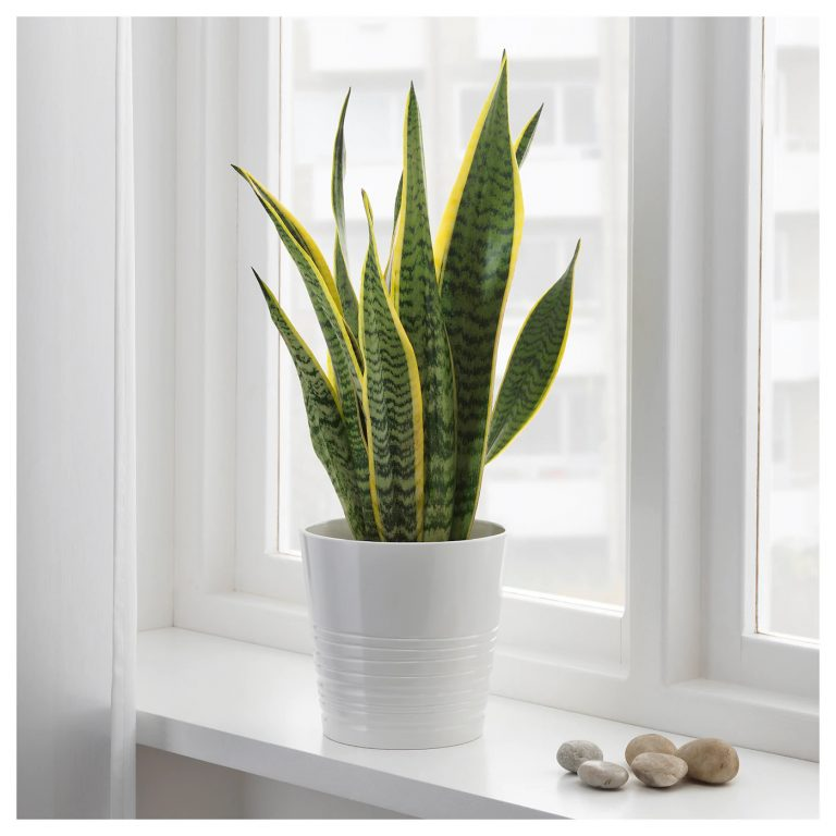 sansevieria-trifasciata-potted-plant-mother-in-law-s-tongue__0596545_PE676659_S5