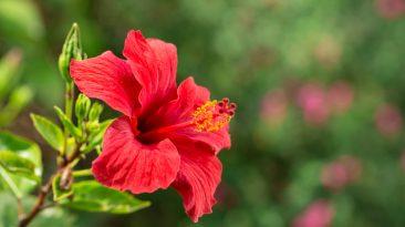 Jak pěstovat ibišek, aby kvetl do krásy?