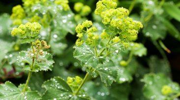Léčivý kontryhel nádherně kvete, zlepšuje spánek a pomáhá i proti menstručním bolestem