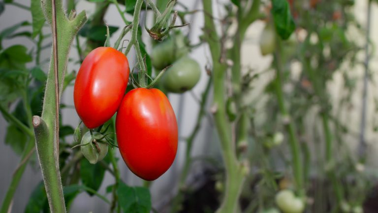Dejte si pozor na časté chyby při pěstování rajčat
