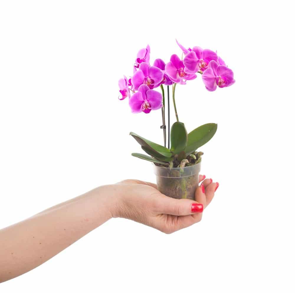 Mini orchideje udělají velkou parádu, ale pěstování není med