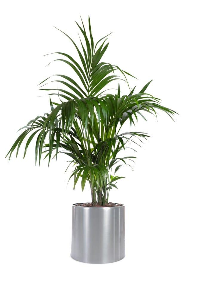 Substrát pro palmy není jen pro palmy. Využijete jej jako plnohodnotný substrát i pro další okrasné pokojovky