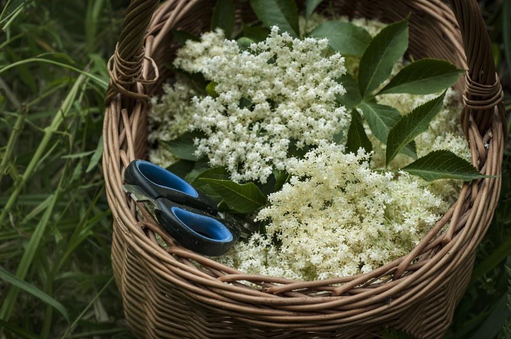 Květy černého bezu, jejich léčivé účinky a využití