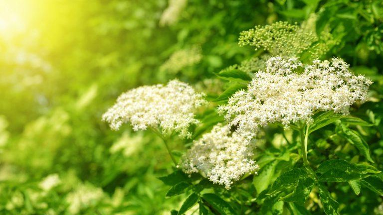 Nastal čas pro sběr smradinek neboli bezinek. Květy bezu mají detoxikační účinky a ulevují od zácpy