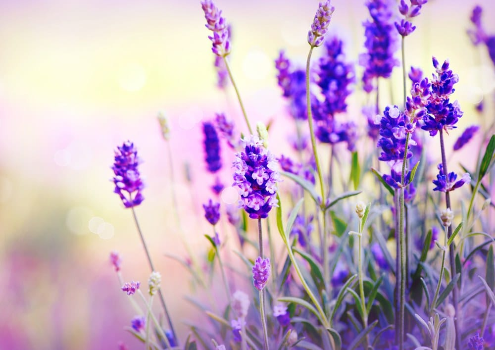Vyměňte repelenty za bylinky a zbavte se komárů přírodní cestou